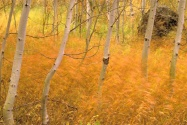 Aspens and Grasses