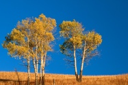 Autumn Aspen Trees, Yellowstone National Park, W