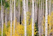 Autumn Aspens, Colorado      ID 42183
