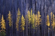 Autumn Larch Trees, Colville National Forest, Wa