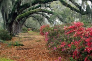 Azaleas and Live Oaks, Magnolia Plantation, Char