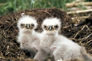Bald Eagle Chicks