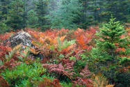 Colorful Ferns in Autumn, Acadia National Park,