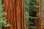 Giant Sequoia Trees, Mariposa Grove, Yosemite Na