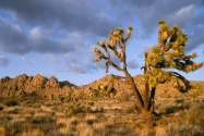 Late Afternoon at Joshua Tree National Park, Cal