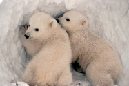 polar bears are cute