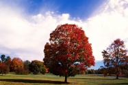 Red Maple Tree, Bernheim Forest Arboretum, Clerm