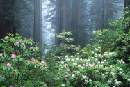 Redwoods and Blooming Rhododendrons, California
