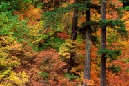 Russeted Woodland, Cascade Mountains, Washington