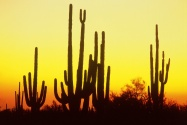Saguaro Cactus at Sunset, Arizona