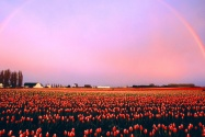 Skagit Valley Tulip Fields, Washington   1600x12