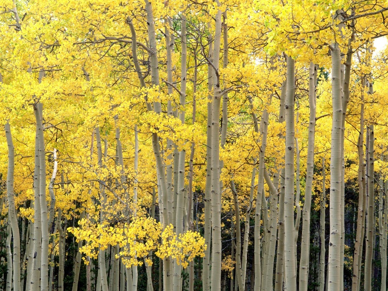 Autumn Aspens, Kenosha Pass, Pike National Fores