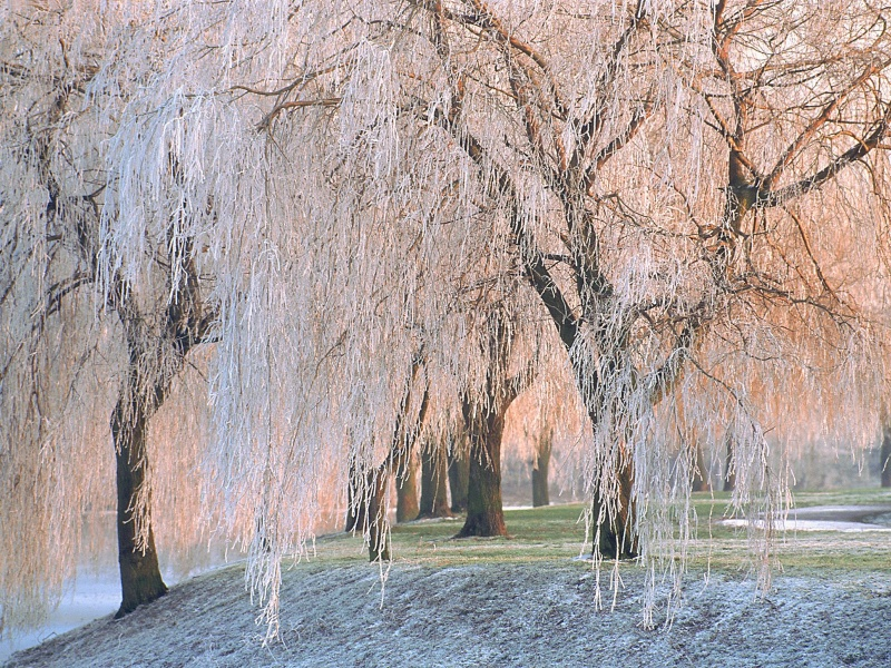 Ice covered Willow Trees      ID 43740